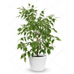 Ficus disciplinado